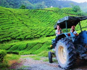 Malaysian Tea Fields